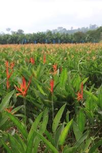Heleconia fields